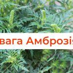 алергия на амброзия