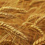 колосся пшениці