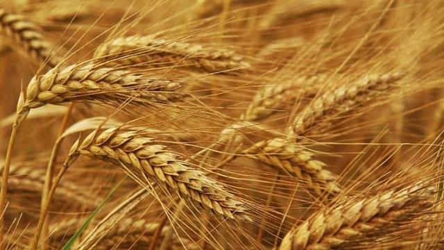 дозріла пшениця колосся фото