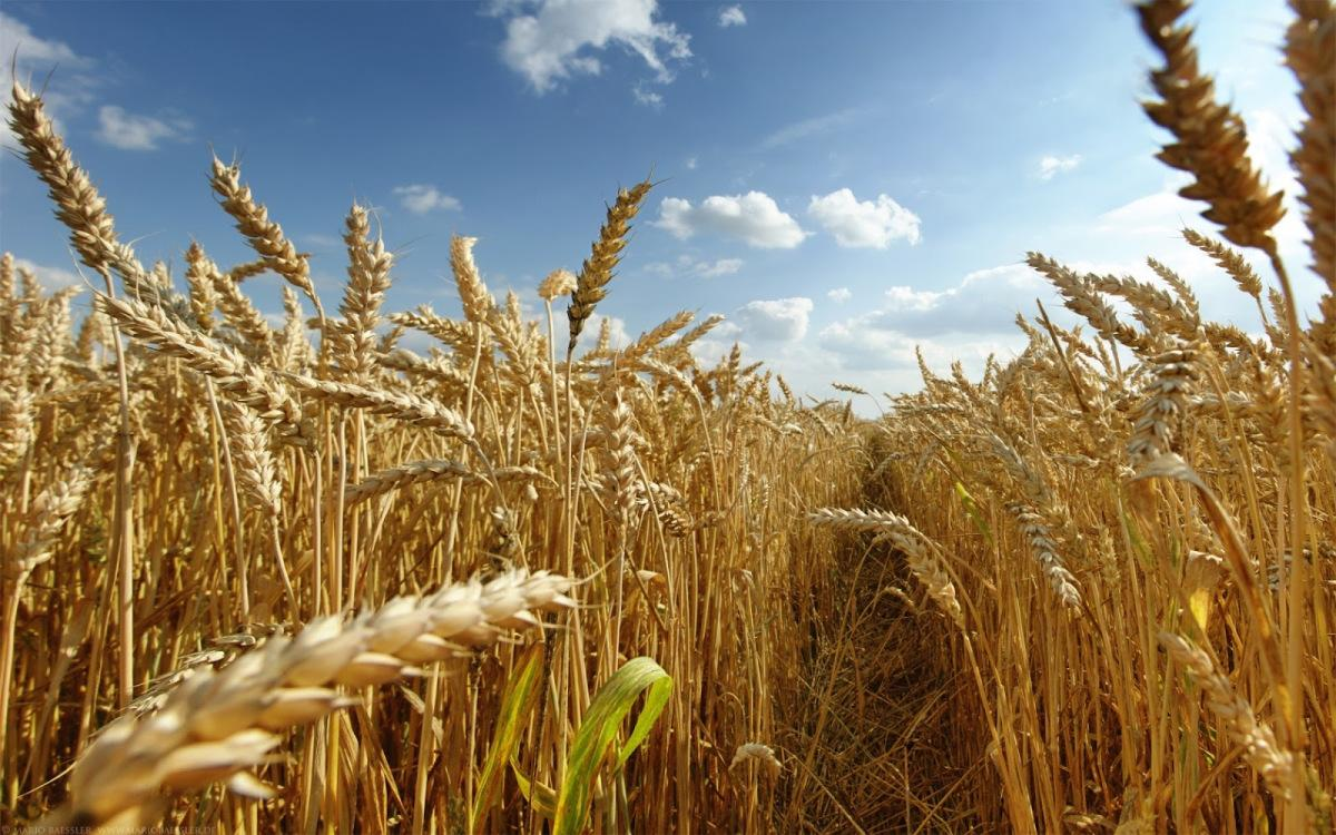 пшениця аграрии новомосковск